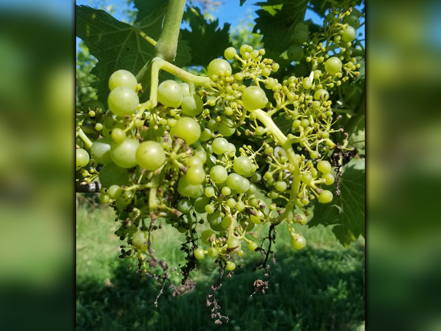 These grape clusters at a Maryland vineyard are showing signs of severe auxin herbicide injury. The sight is not an uncommon one this summer, as off-target movement of herbicides, especially dicamba, has become prevalent once again. (Photo courtesy Jennie Schmidt)